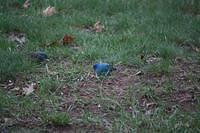 Indigo Buntings (male)