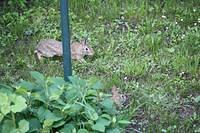 Backyard Bunnies